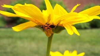 yellow sunny flower with a bug