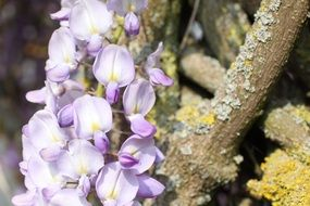 light purple flowers of flower grapes