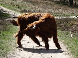 scottish highlander oxen