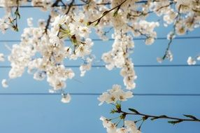 White cherry blossoms against the blue sky