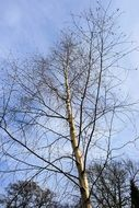 Bared birch tree nature sky blue scene