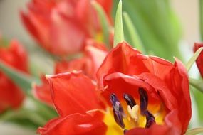 red tulip flowers close-up