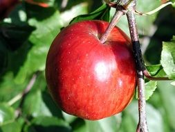 branch with apple fruits