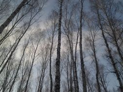 trees birch forest