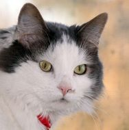white domestic cat with a collar