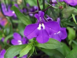 purple spring flowers with green leaves in the garden