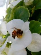 a bee collects nectar from a white strawberry flower