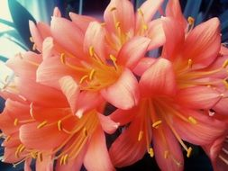 Clivia blossoms close up