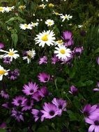 white and purple daisies in a garden bed