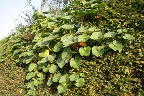 pumpkin bush