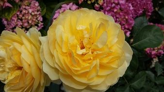 beautiful yellow roses blossom