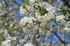 White spring bloom cherry nature garden