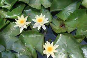 water lily aquatic plants
