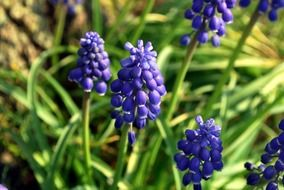 blue grape hyacinth flowers