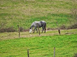 grey horse grazing