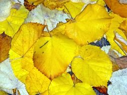 golden-yellow autumn leaves