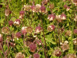 blooming avens on meadow