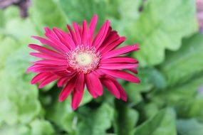 red daisy flower above green leaves