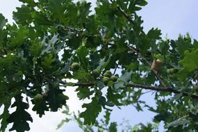 green oak tree in summer