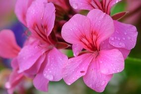 bright pink flowers in water drops