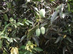 green mango fruit on tree