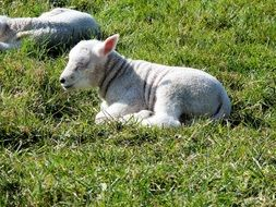 lambs rest on a green pasture