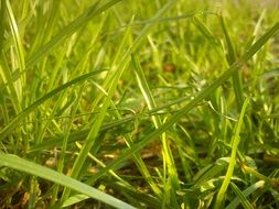 light green grass in spring