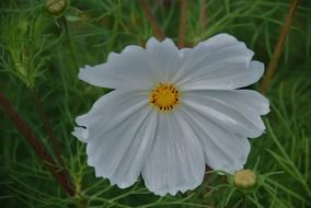 white flower anemones leaf