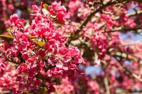 bright pink flowers on cherry