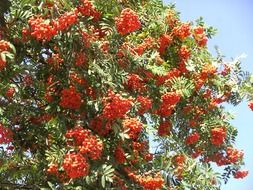 rowan tree with red berries in autumn