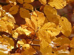 autumn beech leaves on a sunny day