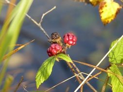 wild blackberry bush