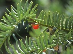 red poisonous berries on a coniferous plant