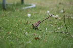 sparrow on the lawn