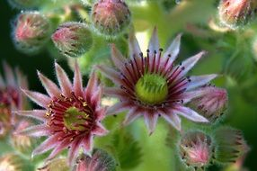 The houseleek - genus Sempervivum - are small plants of the family Crassulaceae