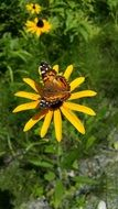 Tiger butterfly on yellow flower