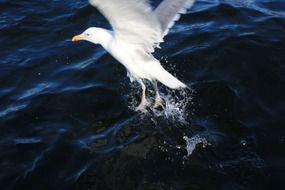 white seagull flies close to the water