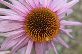 closeup of a coneflower