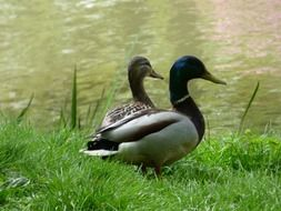 two ducks on green grass near the lake