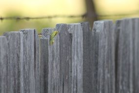 green grasshopper on a gray rural fence