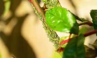 greenfly aphid on branch