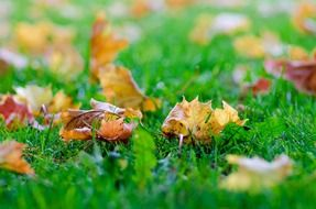 Close-up of colorful fallen autumn leaves on green grass
