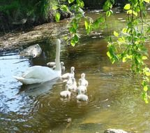 mother swan cygnets