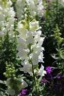 beautiful white hollyhock
