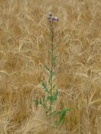 thistles among the wheat field