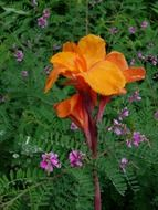 orange canna indica flower