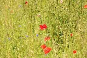 red poppies and wildflowers on a field in summer