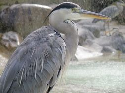 big heron bird
