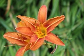two fragrant orange lilies in the garden