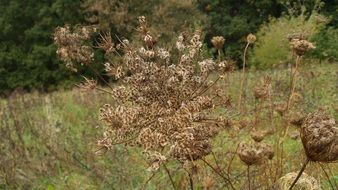 wild carrot seeds in the meadow